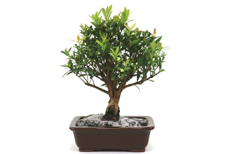 Bonsai Cereja silvestre 06 anos - medida da planta (AxL) 25x22 centímetros