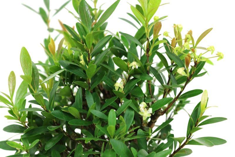 Bonsai Cereja silvestre 06 anos - medida da planta (AxL) 26x24 centímetros