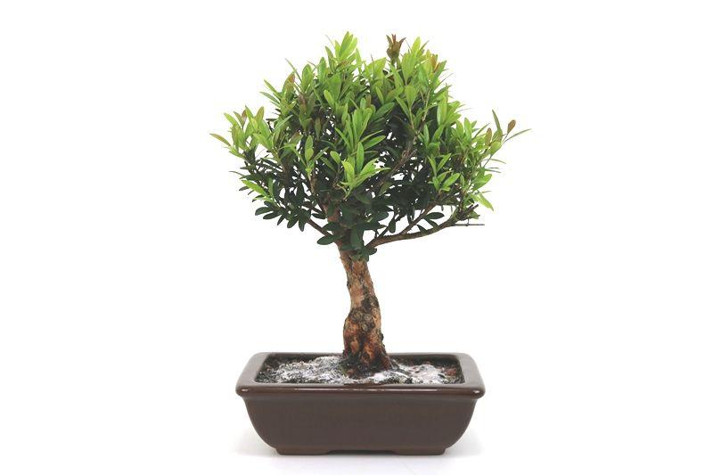 Bonsai Cereja silvestre 06 anos - medida da planta (AxL) 28x22 centímetros