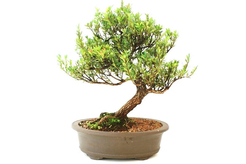 Bonsai Cereja Silvestre aproximadamente 16 anos - medida da planta (AxL) 45x50 cm