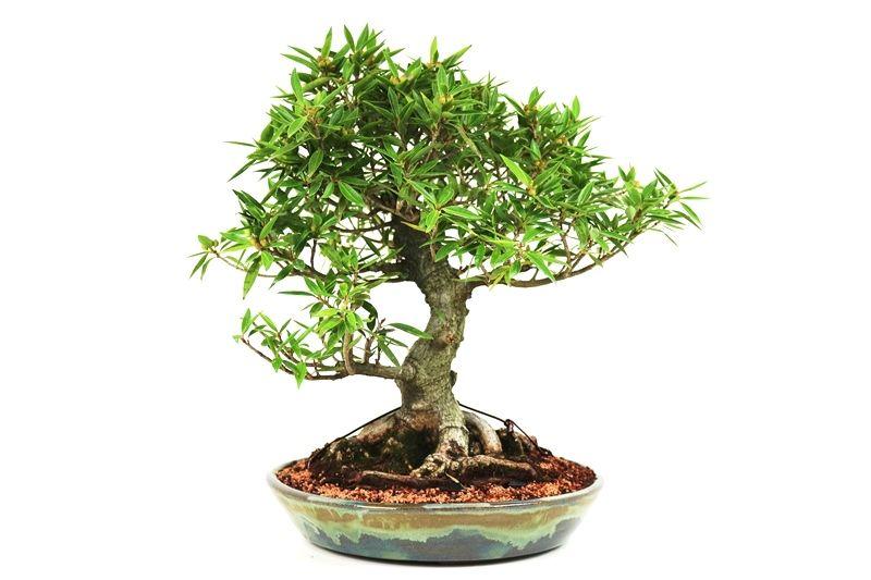 Bonsai Ficus Nerifolia 20 anos medida da planta (AxL) 45x47 cm