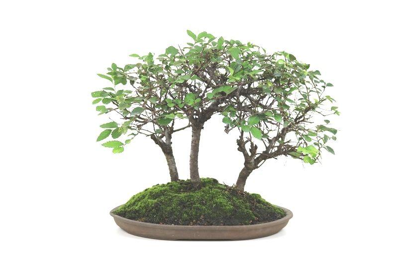 Bonsai Floresta Ulmus de 12 anos - medida da planta (AxL)  34x46 cm