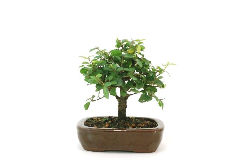 Bonsai Grewia (Flor de Lotus) aproximadamente 04 anos - medida da planta (AxL) 15x16 cm