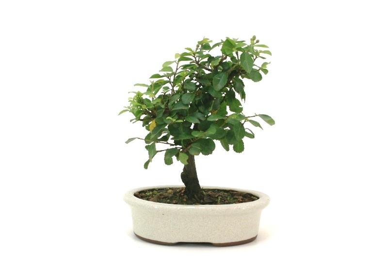 Bonsai Grewia (Flor de Lotus) aproximadamente 04 anos - medida da planta (AxL) 17x17 cm