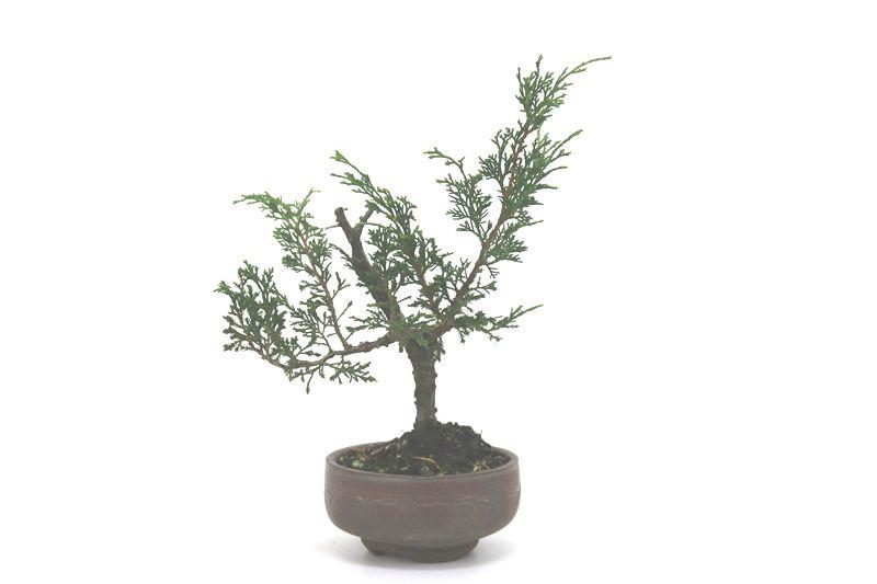 Bonsai Itoigawa 04 anos medida da planta (AxL) 18x19 cm