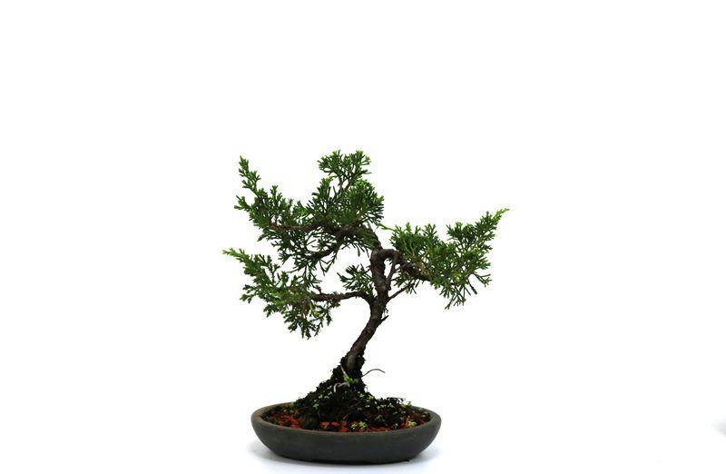 Bonsai Itoigawa 04 anos medida da planta (AxL) 20x16 cm