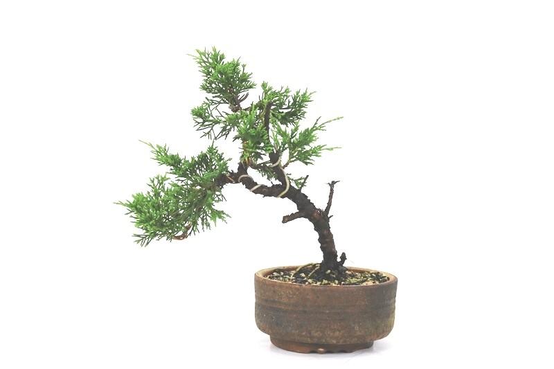 Bonsai Itoigawa 06 anos medida da planta (AxL) 17x20 cm