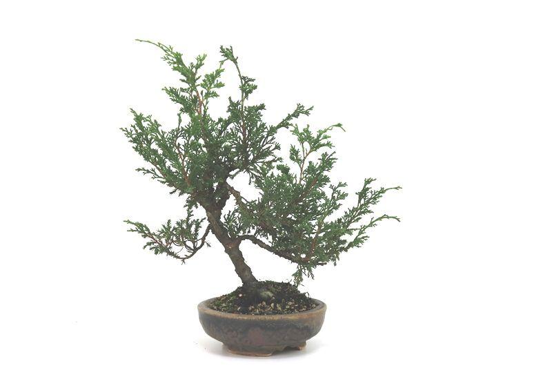 Bonsai Itoigawa 06 anos medida da planta (AxL) 17x23 cm