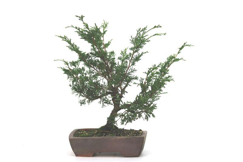 Bonsai Itoigawa 06 anos medida da planta (AxL) 20x24 cm