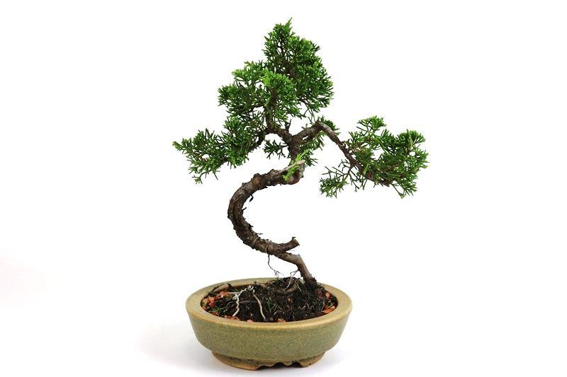 Bonsai Itoigawa 06 anos medida da planta (AxL) 23x21 cm