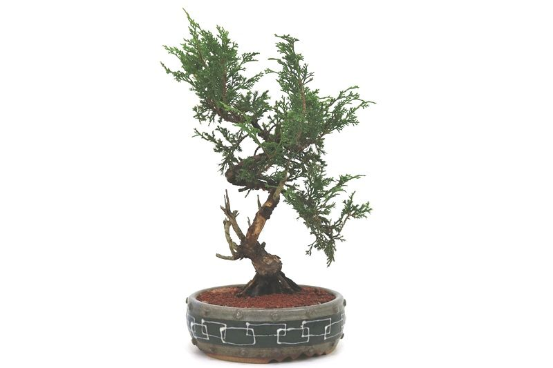 Bonsai Itoigawa 12 anos medida da planta (AxL) 30x20 cm