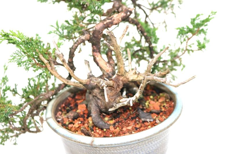 Bonsai Itoigawa 14 anos medida da planta (AxL) 18x33 cm