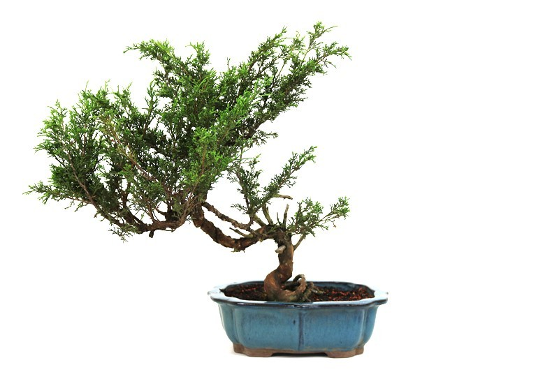 Bonsai Itoigawa 14 anos medida da planta (AxL) 39x44 cm