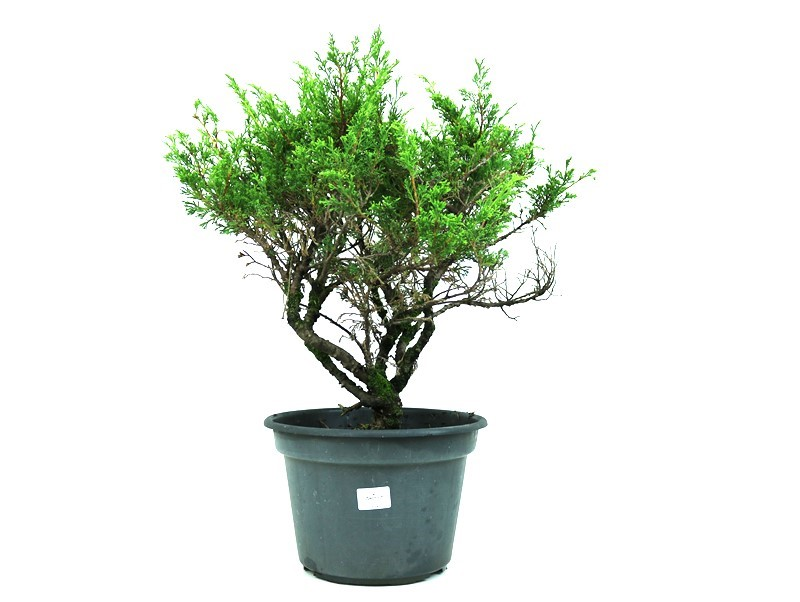 Bonsai Itoigawa 14 anos medida da planta (AxL) 45x45 cm