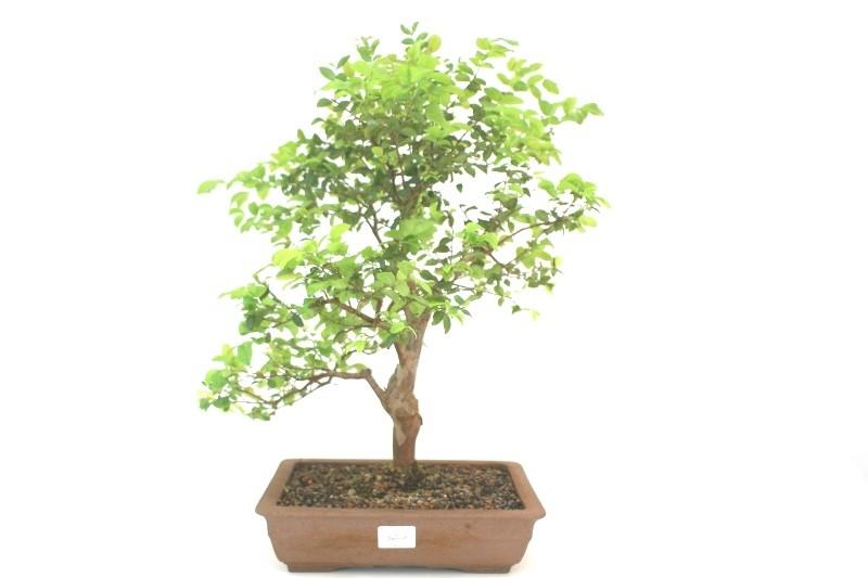 Bonsai Jabuticaba Híbrida aproximadamente 08 anos - medida da planta (AxL) 42x43 cm