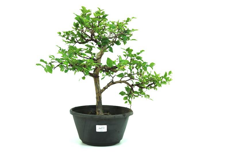 Bonsai Jabuticaba sabara 08 anos - medida da planta (AxL) 38x44 CM