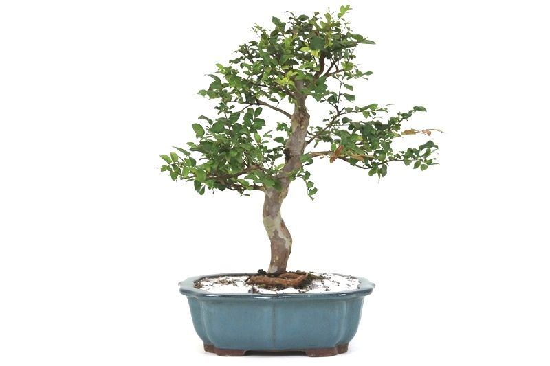Bonsai Jabuticaba sabara 14 anos - medida da planta (AxL) 41x42 cm