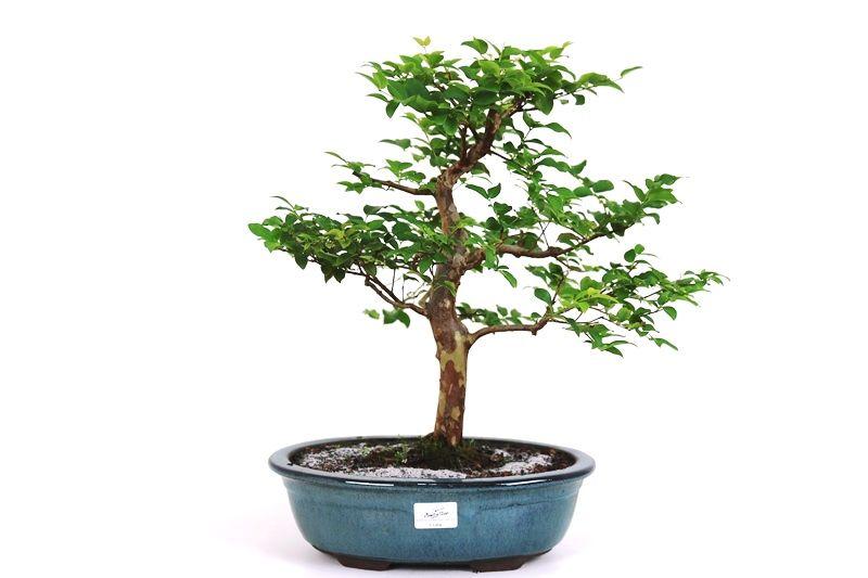 Bonsai Jabuticaba sabara 16 anos - medida da planta (AxL) 36x36 cm