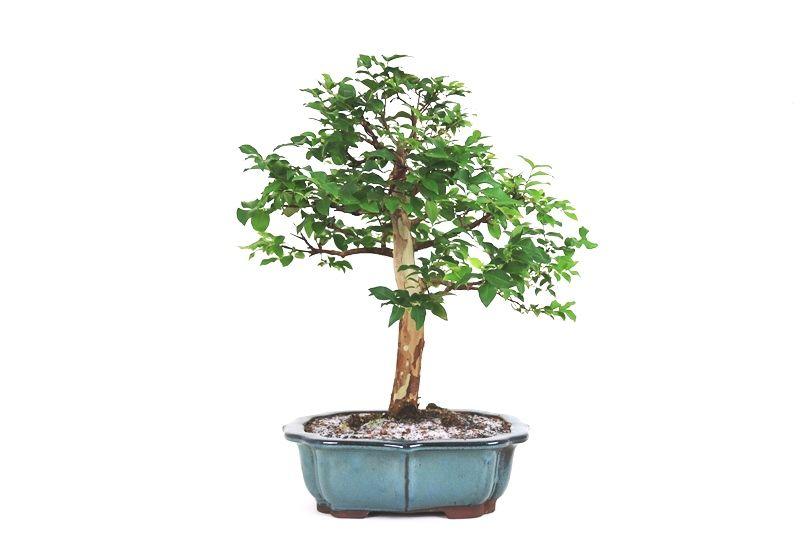 Bonsai Jabuticaba sabara 16 anos - medida da planta (AxL) 46x38 cm