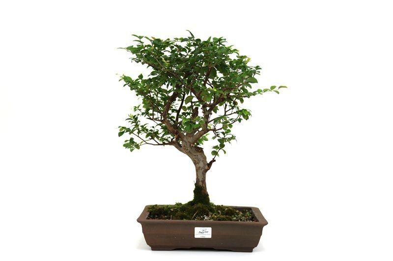 Bonsai Jabuticaba sabara 8 anos - medida da planta (AxL) 40x36 cm