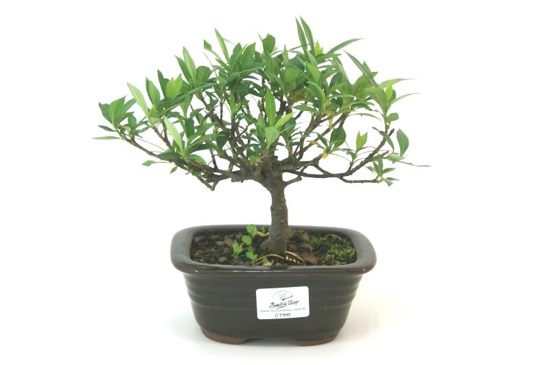 Bonsai Jasmin anão aproximadamente 03 anos medida da planta (AxL) 12x19 cm