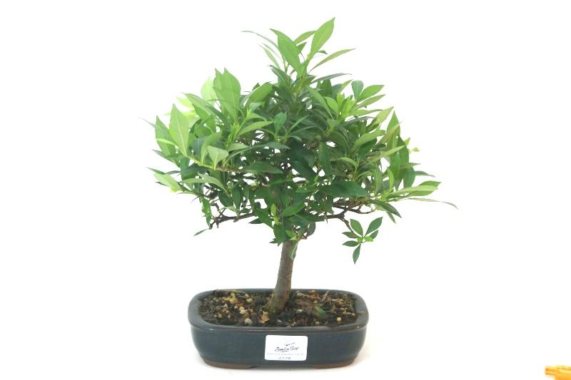 Bonsai Jasmin anão aproximadamente 04 anos medida da planta (AxL) 14x15 cm