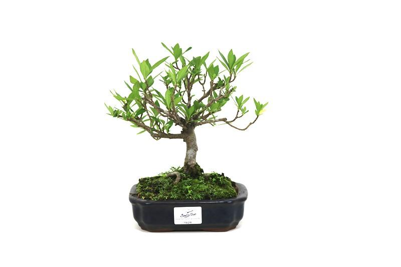 Bonsai Jasmin anão aproximadamente 05 anos medida da planta (AxL) 16x20 cm