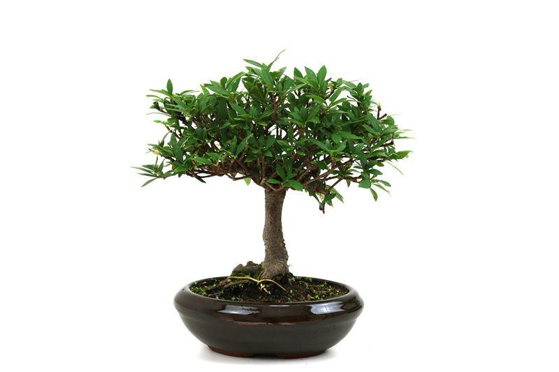 Bonsai Jasmin anão aproximadamente 05 anos medida da planta (AxL) 19x26 cm