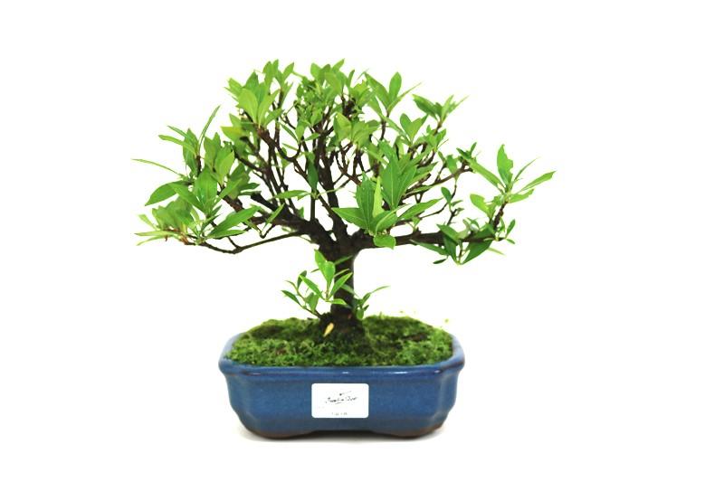 Bonsai Jasmin anão aproximadamente 05 anos medida da planta (AxL) 20x22 cm