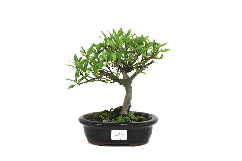 Bonsai Jasmin anão aproximadamente 05 anos medida da planta (AxL) 20x23 cm