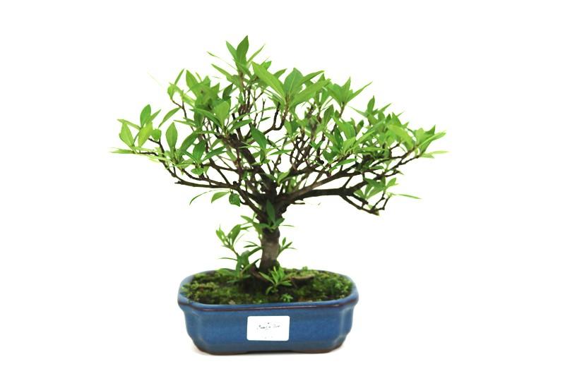 Bonsai Jasmin anão aproximadamente 05 anos medida da planta (AxL) 20x26 cm