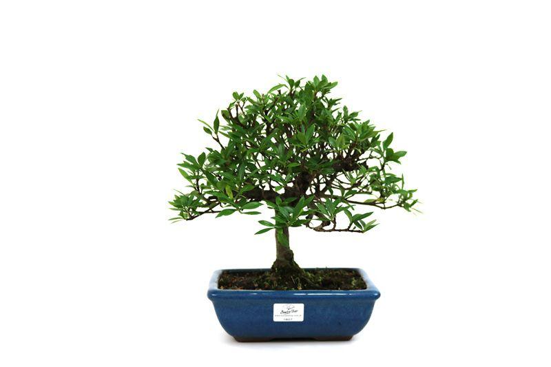 Bonsai Jasmin anão aproximadamente 05 anos medida da planta (AxL) 25x26 cm
