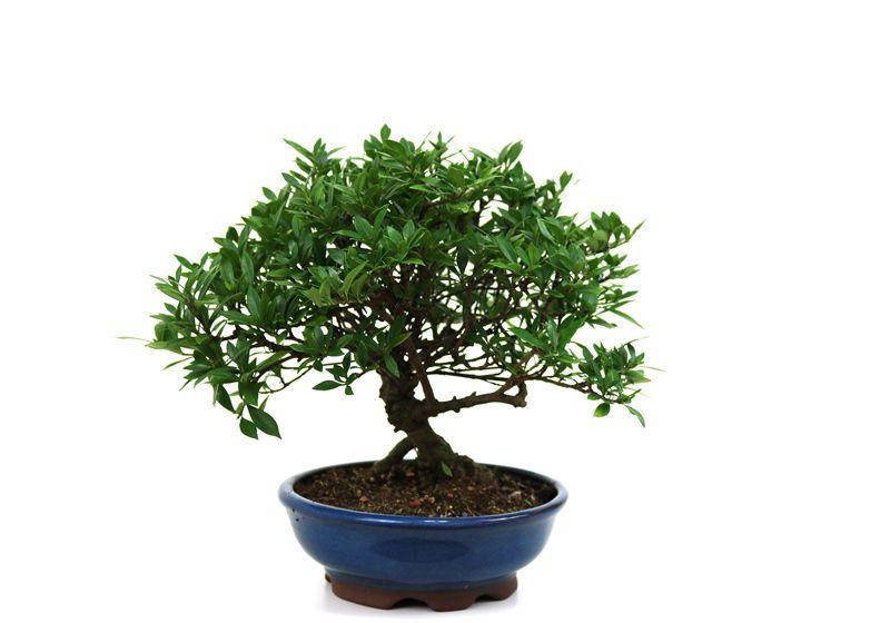 Bonsai Jasmin anão aproximadamente 08 anos medida da planta (AxL) 22x25 cm