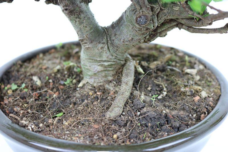 Bonsai Jasmin anão aproximadamente 10 anos - medida da planta (AxL) 21x25 cm