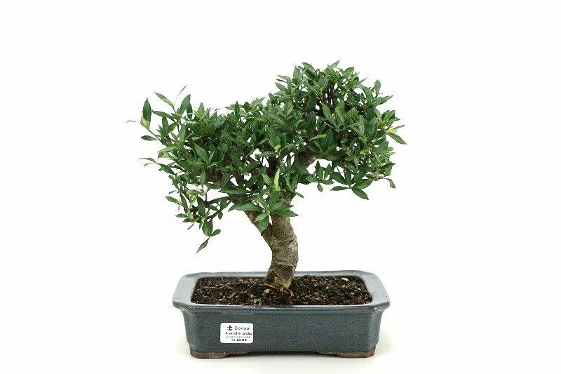 Bonsai Jasmin anão aproximadamente 12 anos - medida da planta (AxL) 25x29 cm
