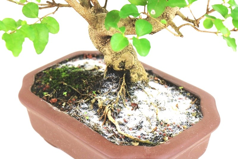 Bonsai Ligustrum 05 anos - medida da planta (AxL) 23x24 cm