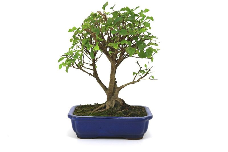 Bonsai Ligustrum 08 anos - medida da planta (AxL) 27x27 centímetros