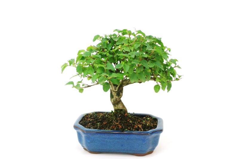 Bonsai Ligustrum aproximadamente 06 anos - medida da planta (AxL) 19x21 cm
