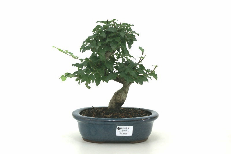 Bonsai Ligustrum aproximadamente 06 anos - medida da planta (AxL) 20x19 cm