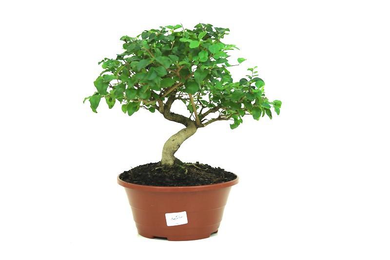 Bonsai Ligustrum aproximadamente 06 anos - medida da planta (AxL) 24x32 cm