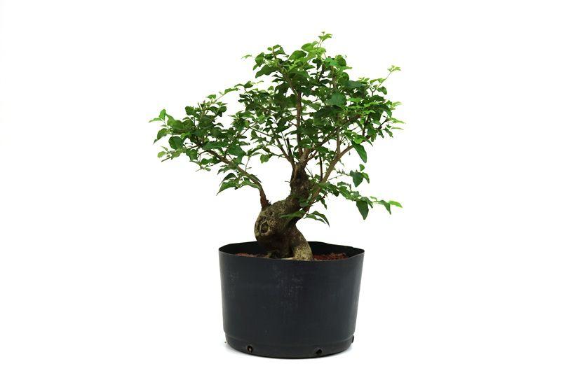 Bonsai Ligustrum aproximadamente 12 anos - medida da planta (AxL) 32x23 cm