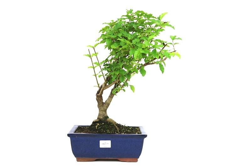 Bonsai Ligustrum aproximadamente 12 anos - medida da planta (AxL) 38x32 cm