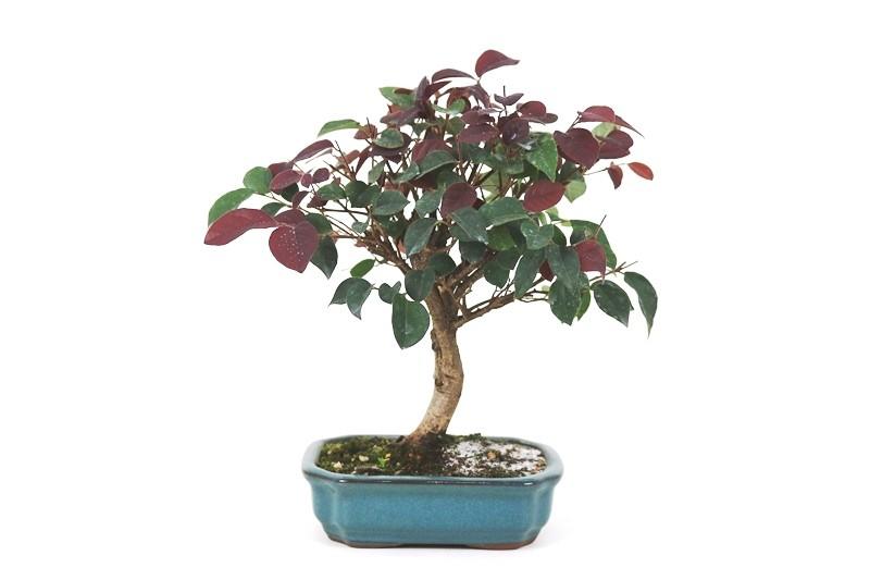 Bonsai Loropetalum 04 anos - medida da planta (AxL) 24x24 cm