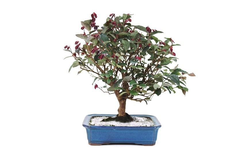 Bonsai Loropetalum 12 anos - medida da planta (AxL) 32x33 cm