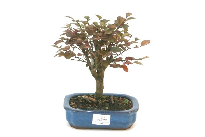 Bonsai Loropetalum aproximadamente 04 anos - medida da planta (AxL) 18x19 cm