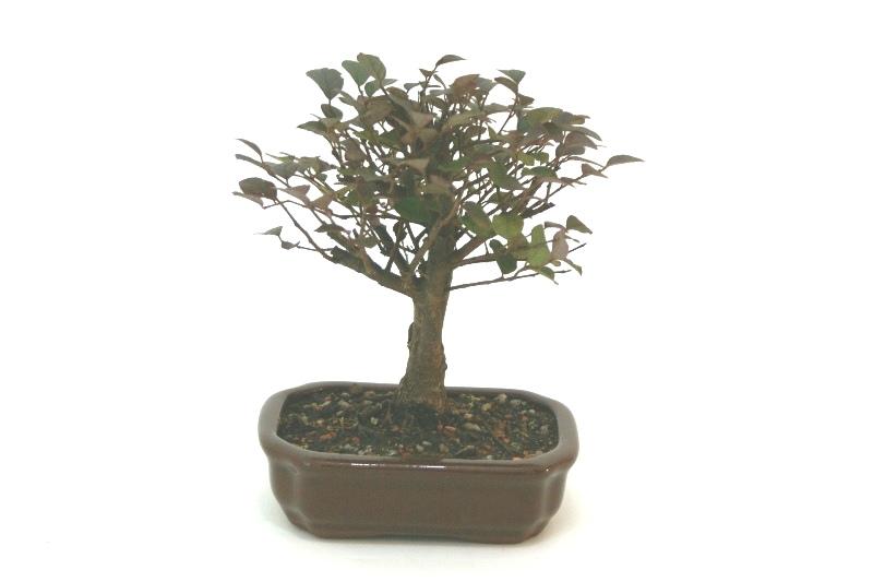 Bonsai Loropetalum aproximadamente 04 anos - medida da planta (AxL) 18x20 cm