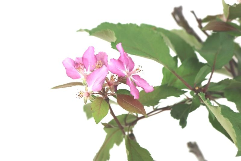 Bonsai Macieira  08 anos - medida da planta (AxL) 35x30 cm