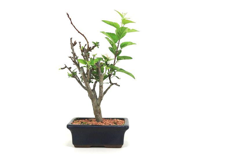 Bonsai Macieira ana 07 anos - medida da planta (AxL) 40x24 cm