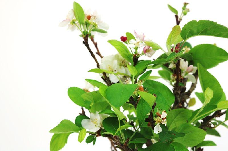 Bonsai Macieira ana 08 anos - medida da planta (AxL) 39x20 cm