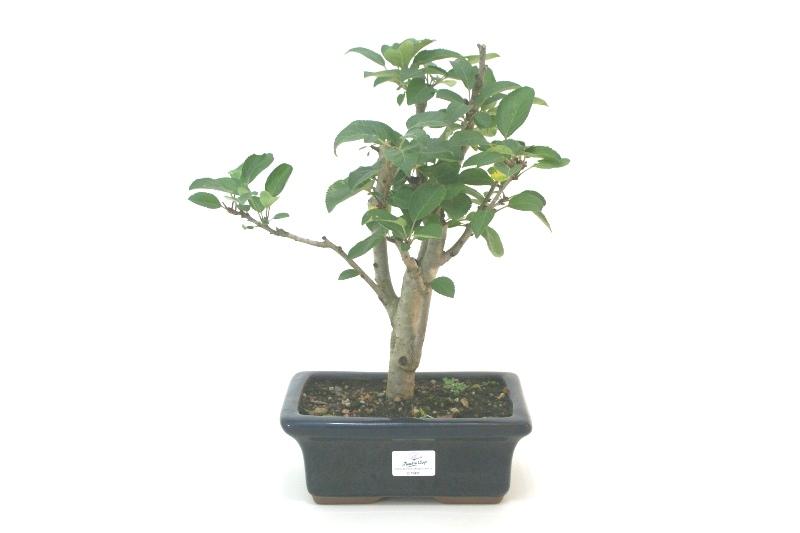 Bonsai Macieira ana aproximadamente 07 anos - medida da planta (AxL) 30x30 cm